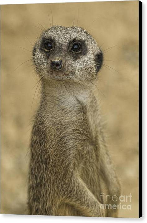 Meerkat Canvas Print featuring the photograph Frank The Meerkat by Steev Stamford