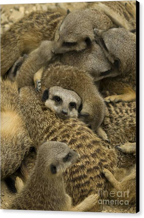 Meerkat Canvas Print featuring the photograph Meerkat Family by Steev Stamford