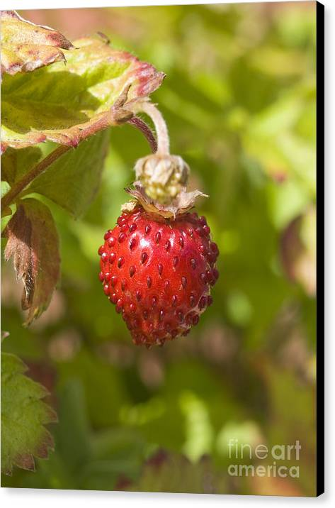 Strawberry Canvas Print featuring the photograph Strawberry by Steev Stamford