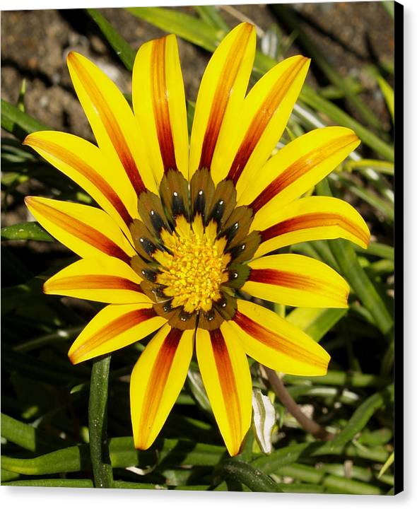 Decor Canvas Print featuring the photograph Natural Sun Shine by Ron Kizer