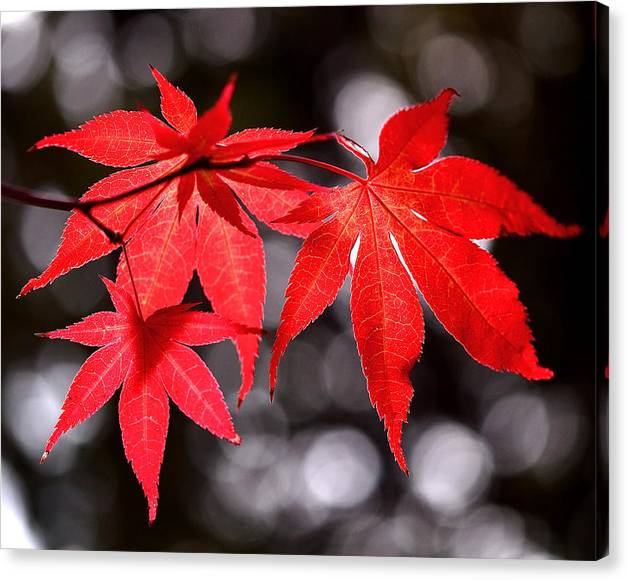 Limited Time Promotion: Dancing Japanese Maple Stretched Canvas Print by Rona Black