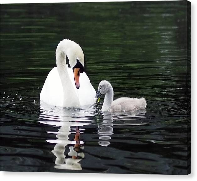 Limited Time Promotion: Lunchtime For Swan And Cygnet Stretched Canvas Print by Rona Black