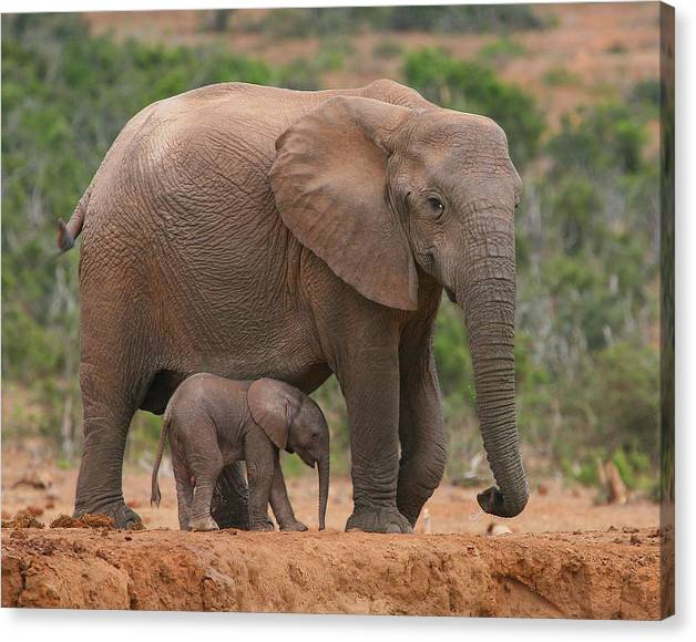 Limited Time Promotion: Mother And Calf Stretched Canvas Print
