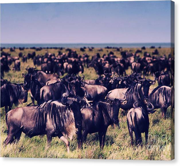 Limited Time Promotion: Migrating Wildebeest Herd Serengeti Plains Tanzania - Africasnapshots Stretched Canvas Print