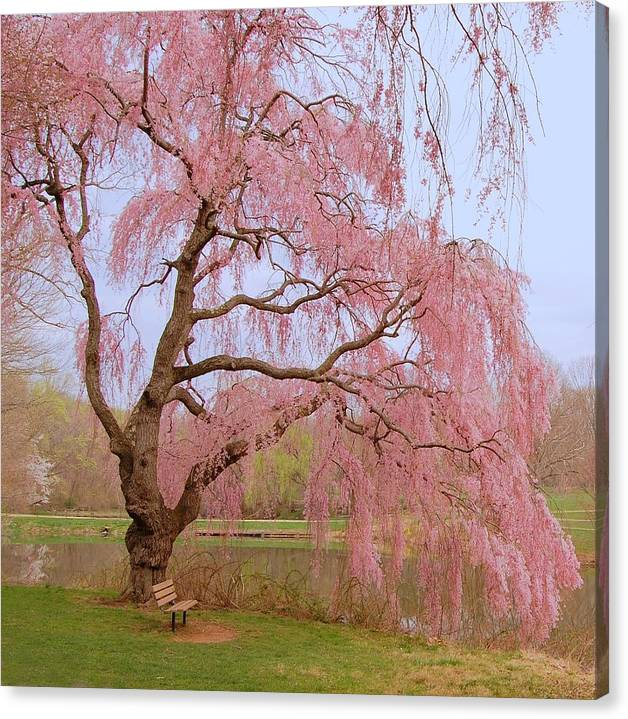 Limited Time Promotion: Weeping Spring- Holmdel Park Stretched Canvas Print by Angie Tirado
