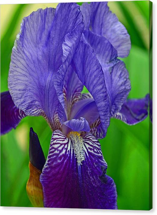 Limited Time Promotion: Purple Iris Stretched Canvas Print