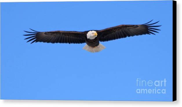 Bald Eagle Canvas Print featuring the photograph Bald Eagle 3768 by Jack Schultz