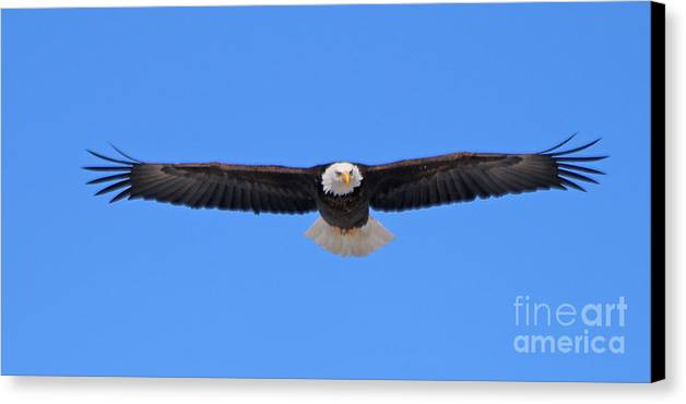 Bald Eagle Canvas Print featuring the photograph Bald Eagle 3769 by Jack Schultz