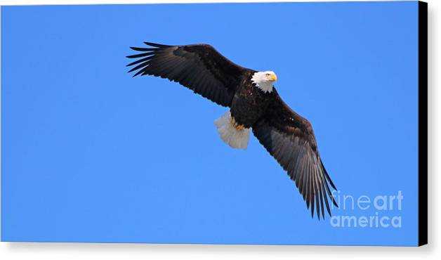 Bald Eagle Canvas Print featuring the photograph Bald Eagle 3772 by Jack Schultz