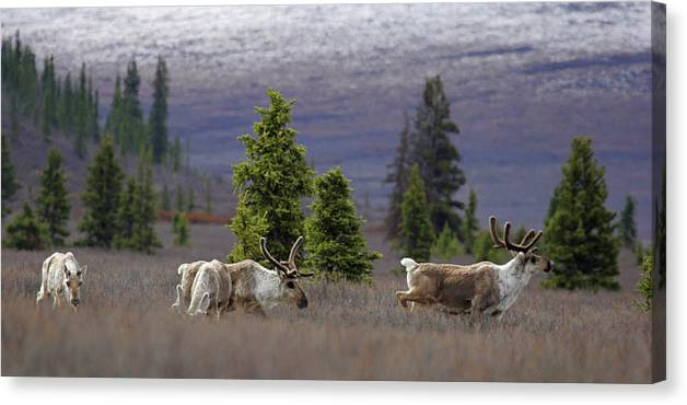 Alaska Canvas Print featuring the photograph Caribou by Marcus Mapp