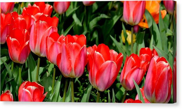 Tulips Canvas Print featuring the photograph Tulips by Patrick Short