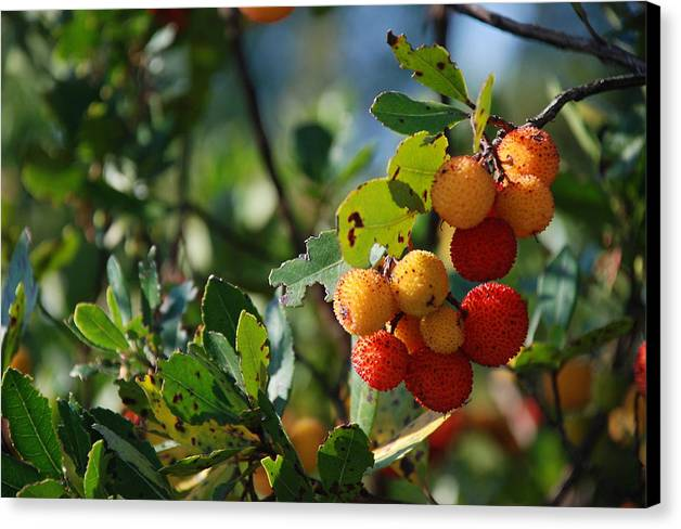 Arbutus Unedo Canvas Print featuring the photograph Strawberry Tree by Dejan Knezevic