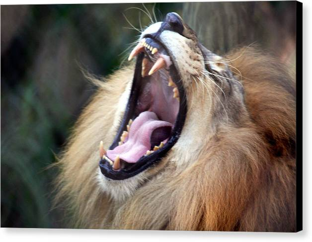 Lions Canvas Print featuring the photograph Big Mouth by Edward Roman