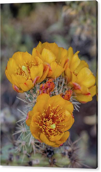 Staghorn Cholla Blossoms 5 by Teresa Wilson