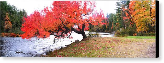 Light Canvas Print featuring the photograph Panorama Of Red Maple Tree, Muskoka by Henry Lin