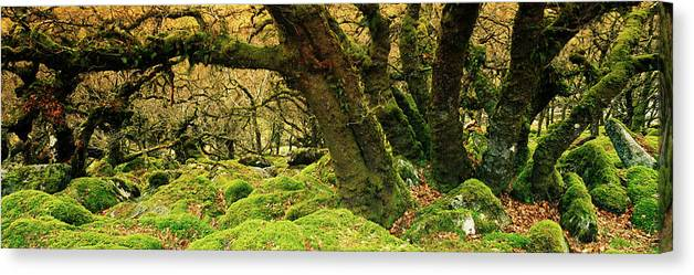 Photography Canvas Print featuring the photograph Moss Covered Trees In A Forest by Panoramic Images