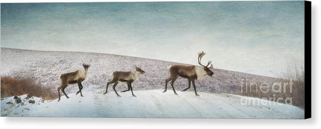 Animal Canvas Print featuring the photograph Three Caribous by Priska Wettstein