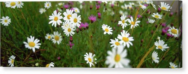 Photography Canvas Print featuring the photograph View Of Daisy Flowers In Meadow by Panoramic Images