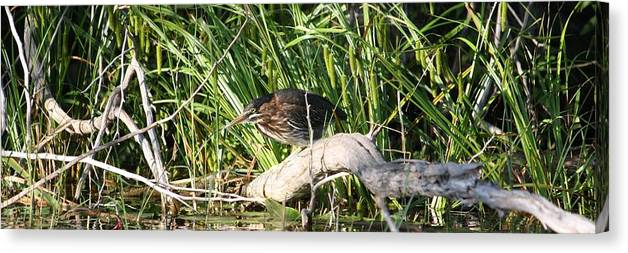 Green Heron Baby Canvas Print featuring the photograph Green Heron - Juvenile by Sue Chisholm