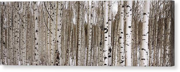 Aspen Canvas Print featuring the photograph Aspens In Winter Panorama - Colorado by Brian Harig