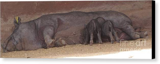 Wild Boar Canvas Print featuring the photograph Wild Boar Family by Bozena Simeth