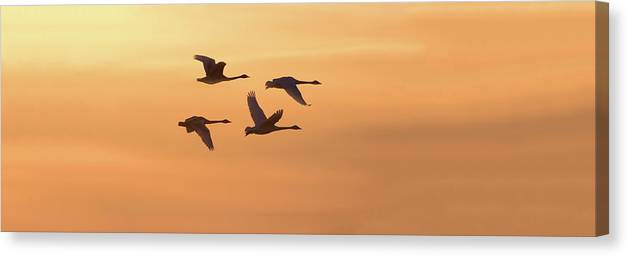 Photography Canvas Print featuring the photograph Trumpeter Swans In Flight At Sunset by Panoramic Images