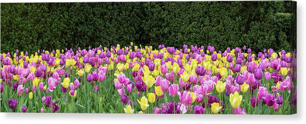 Photography Canvas Print featuring the photograph Tulip Flowers In A Garden, Chicago by Panoramic Images