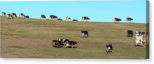 Photography Canvas Print featuring the photograph Herd Of Cows Grazing On A Hill, Point by Panoramic Images