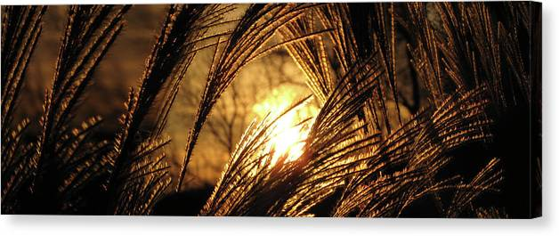 Sunset Canvas Print featuring the photograph Sun In Grass Panoramic by Amy Tyler