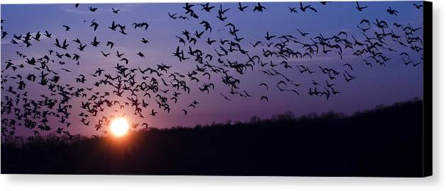Snow Geese Canvas Print featuring the photograph Snow Geese Migrating by Crystal Wightman