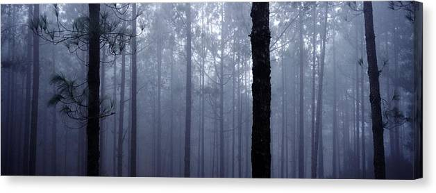 Trunks Canvas Print featuring the photograph Pine Trees In Cloud In The Forest Corona by Axiom Photographic