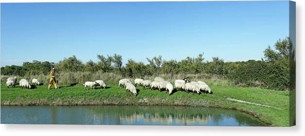 Shepherd Walking With Flock Of Sheep Canvas Print