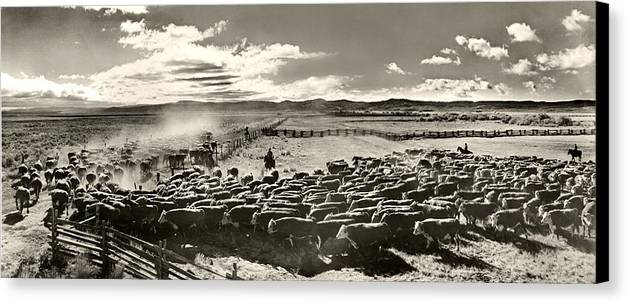Cattle Canvas Print featuring the photograph Cattle Drive by Unknown