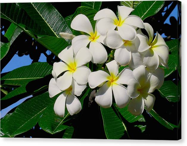 Plumeria Canvas Print featuring the photograph Plumeria Cluster by James Temple
