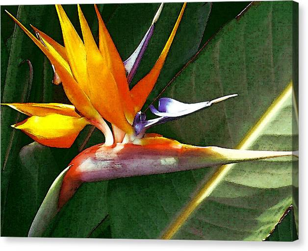 Bird Of Paradise Canvas Print featuring the photograph Crane Flower by James Temple