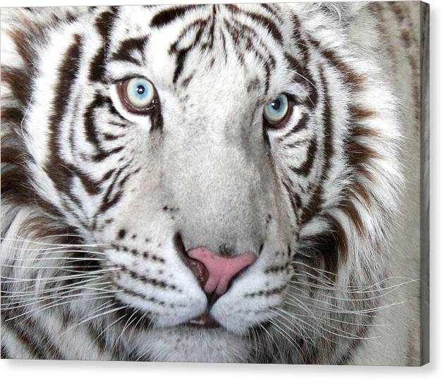 WHITE TIGER EYES BEAUTIFUL ANIAMAL CANVAS WALL ART PICTURE PRINT READY TO HANG