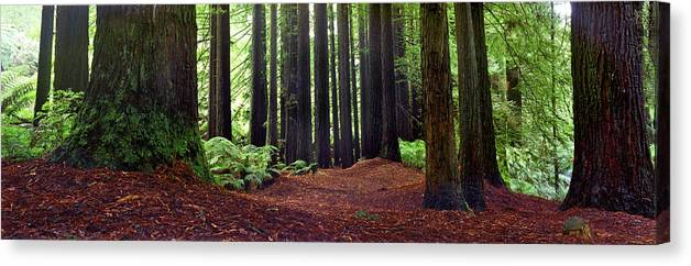 Redwood Trees Canvas Print featuring the photograph Redwoods 1 by Wayne Bradbury Photography
