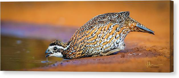 Northern Bobwhite Canvas Print featuring the photograph Getting A Drink by Carol Fox Henrichs