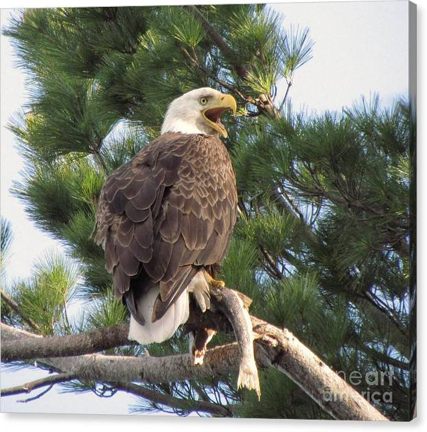 Limited Time Promotion: Bald Eagle With Fish For Her Baby Eaglets Stretched Canvas Print