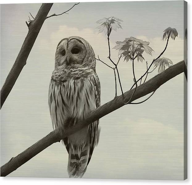 Limited Time Promotion: Barred Owl On A Tree Stretched Canvas Print