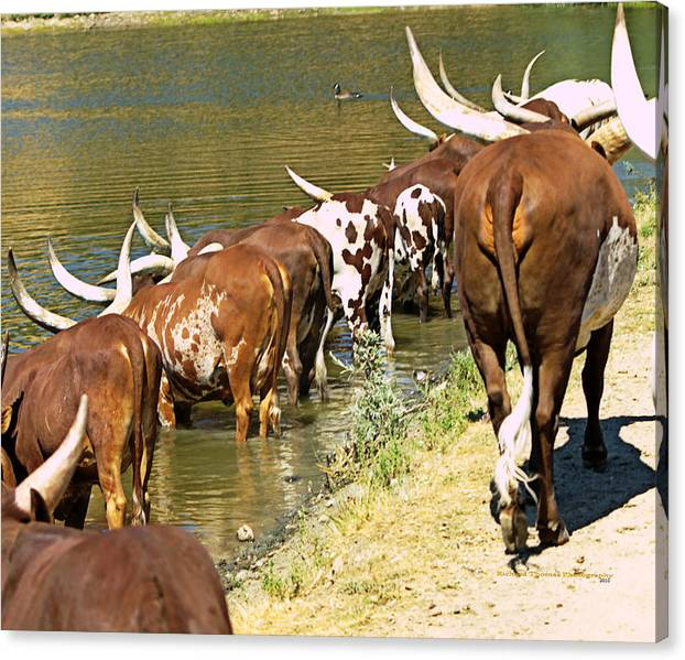 Limited Time Promotion: Ankole-watusi Cattle Stretched Canvas Print by Richard Thomas