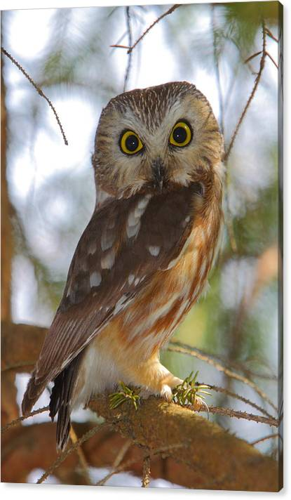 Limited Time Promotion: Northern Saw-whet Owl Stretched Canvas Print