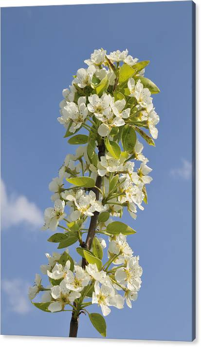 Limited Time Promotion: Apple Blossom In Spring Stretched Canvas Print