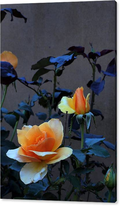 Limited Time Promotion:  Summer Morning Golden Rose  Stretched Canvas Print by Richard Thomas