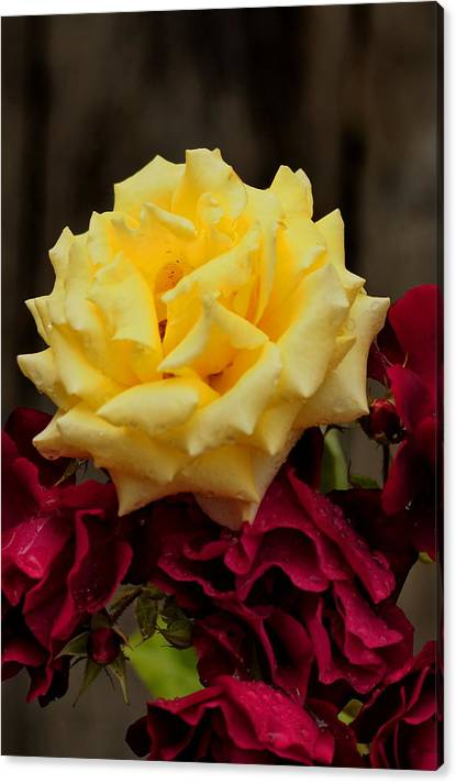 Limited Time Promotion:  Yellow And Red Rose Stretched Canvas Print by Richard Thomas