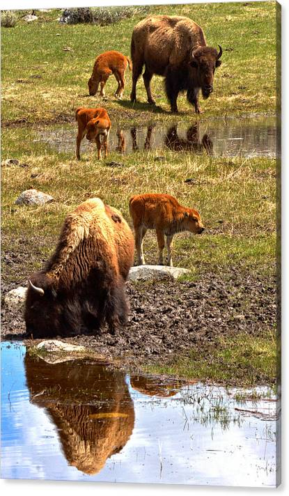 Limited Time Promotion: Yellowstone Bison Reflections Stretched Canvas Print