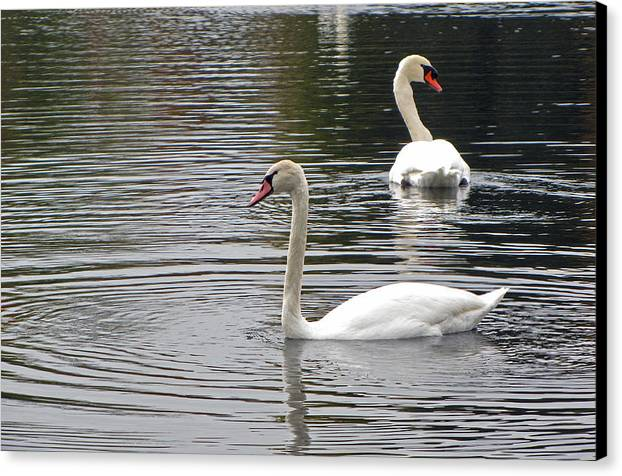 Lake Katherine Canvas Print featuring the photograph Swans On The Lake - Limited Edition by Cedric Hampton