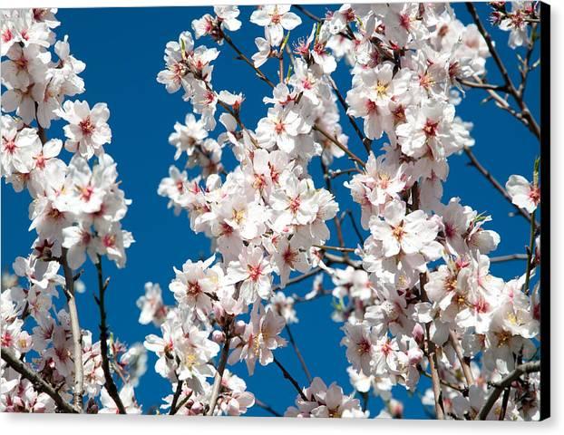 Almond Canvas Print featuring the photograph Almond Blossom by Ingela Christina Rahm