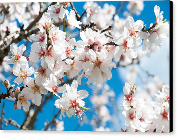 Almond Canvas Print featuring the photograph Almond Blossom by Ingela Christina Rahm