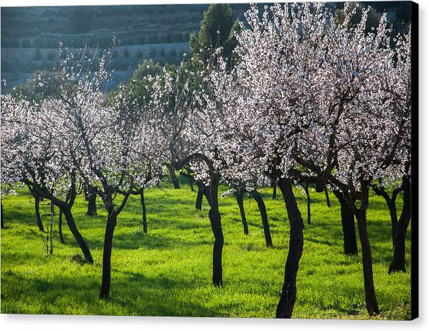 Almond Canvas Print featuring the photograph Almond Trees In Bloom by Ingela Christina Rahm